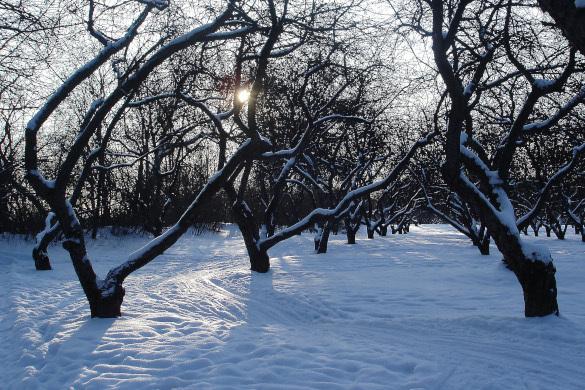 Зимняя оттепель: как защитить сад
