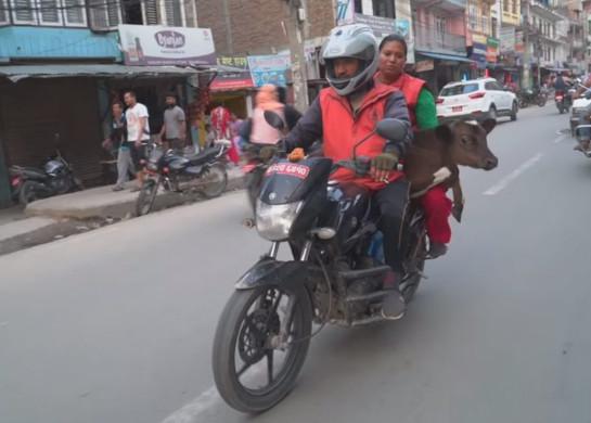 Житель Непала перевез 160 коров на мотоцикле. 393336.jpeg