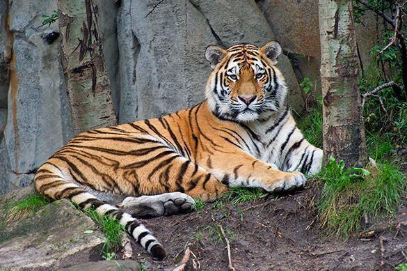Даже рыкнуть не успел: в США усыплен амурский тигр из России. 378337.jpeg