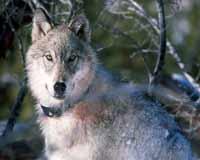 По Киеву разгуливал волк в ошейнике