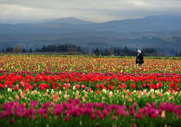 Тюльпановые поля фермы