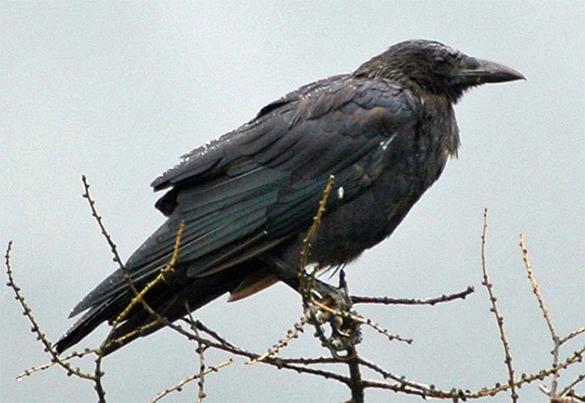 50 тысяч ворон заселили американский Спрингфилд. ворона