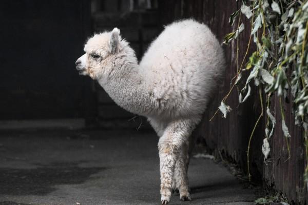 В московском зоопарке родилась белоснежная альпака. 393347.jpeg