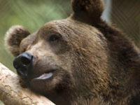 Жильцы пожаловались в полицию на соседа с медведем. 242352.jpeg