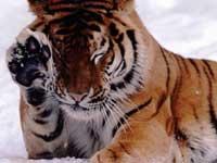 Водитель, сбивший амурскую тигрицу, сделал это намеренно