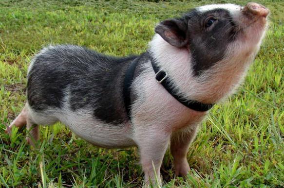 Правда о маленьких свинках, которые помещаются в чашку. 396355.jpeg