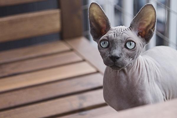 Уход за голыми кошками. 393356.jpeg
