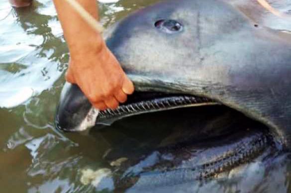 Акула с метровой пастью выбросилась на берег. Акула с метровой пастью