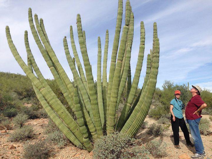 Уникальный  парк-монумент Organ Pipe Cactus  в Аризоне снова открыт для туристов. Кактус