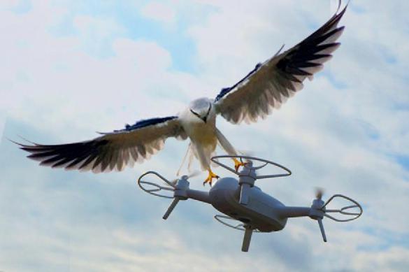 Орнитологи: боевые ястребы Кремля способны сбивать дроны. Орнитологи: боевые ястребы Кремля способны сбивать дроны