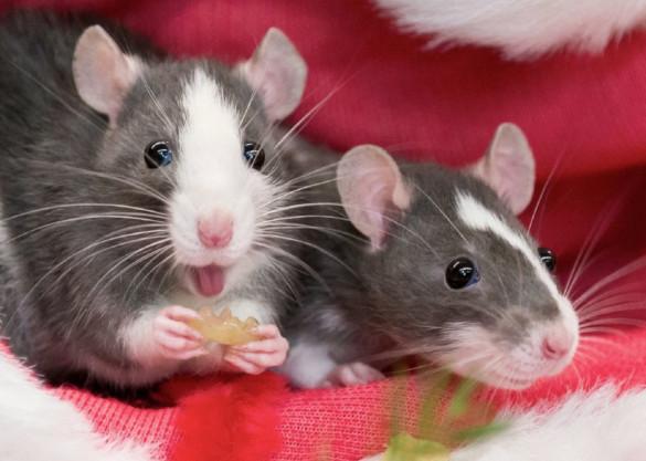 История появления декоративных крыс. 394367.jpeg