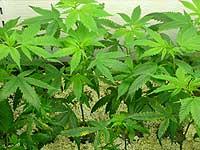 Новгородец выращивал марихуану на чердаке