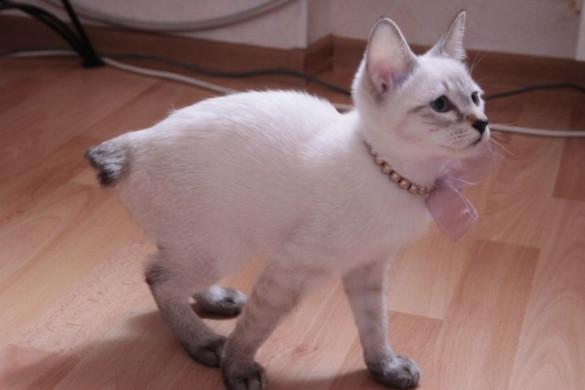 Миниатюрные кошки для малогабаритных квартир. карл