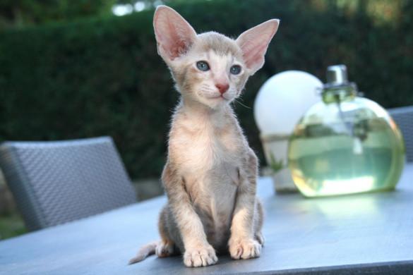 Миниатюрные кошки для малогабаритных квартир. корниш