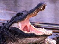 Сбежавший крокодил укусил инспектора. 237379.jpeg
