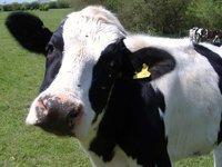"""""""Молочный"""" стафиллококк не реагирует на антибиотики. 239379.jpeg"""