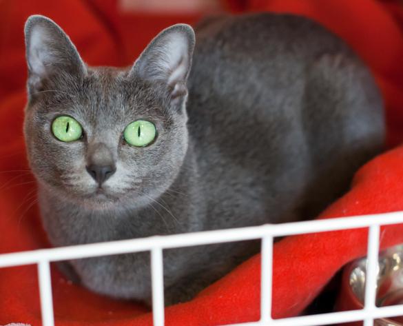 Миниатюрные кошки для малогабаритных квартир. корат