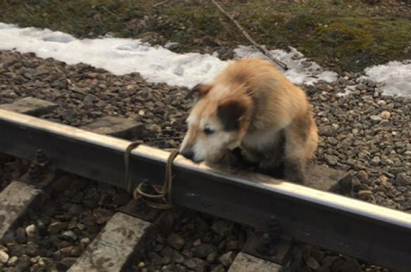 Россиянин, привязавший собаку к рельсам, рассказал о причинах своего поступка. 401380.jpeg