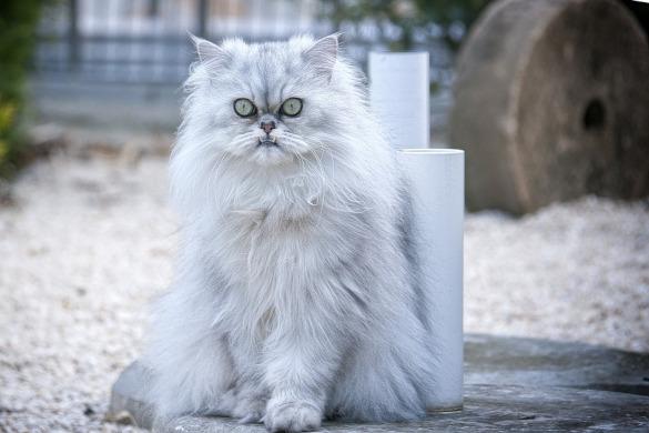 Миниатюрные кошки для малогабаритных квартир. перс