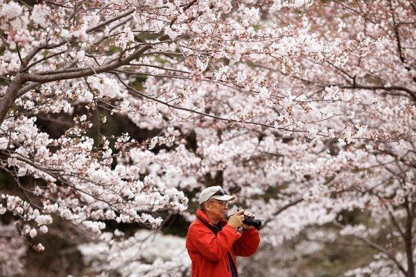 Россия и Япония договорились о безвизовом режиме. Сакура в Японии