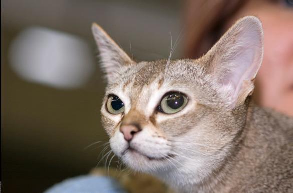 Миниатюрные кошки для малогабаритных квартир. сингапура