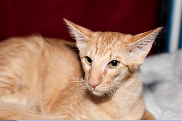 Миниатюрные кошки для малогабаритных квартир. яван