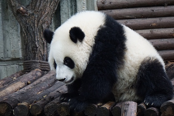 Палеонтологи обнаружили останки ископаемого родственника панды