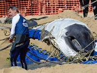 Спасенный детеныш кита снова выбросился на берег. 243385.jpeg