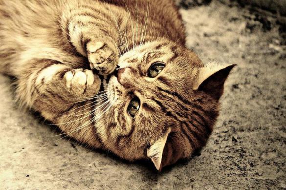 Кошки бывают правшами и левшами. Кошки бывают правшами и левшами
