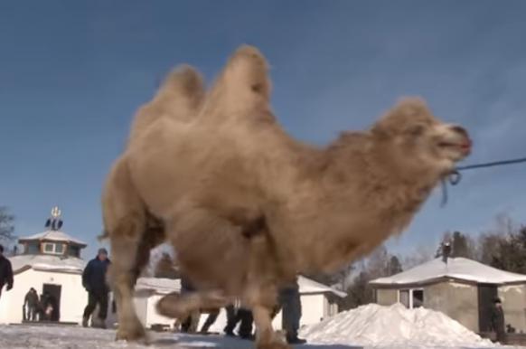 Прокуратура начала проверку после сожжения пяти верблюдов ради