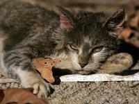 Бездомная кошка подарила почку сиамскому коту. cat