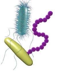 Существует ли секс у бактерий?