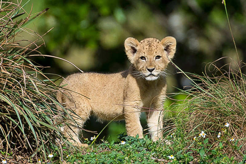 Африканцы подарили львенка папе с дочкой из России