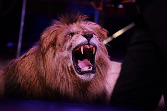 Лев чуть не съел дрессировщика на арене московского цирка. 391398.jpeg