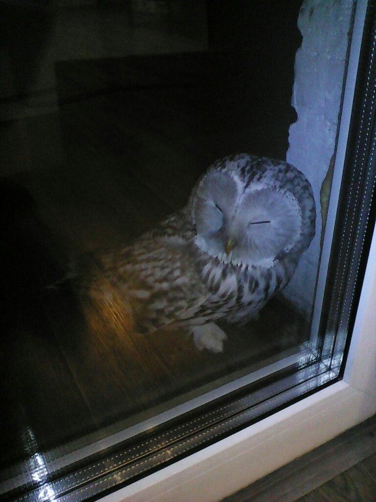 Белая сова, прикорнувшая на балконе жителя Омска, стала звездой соцсетей. Белая сова, прикорнувшая на балконе жителя Омска, стала звездой