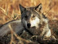 В Якутии объявлена охота на волков. 278400.jpeg