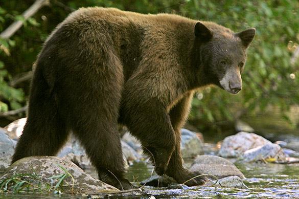 В Приморье полиция убила медведя