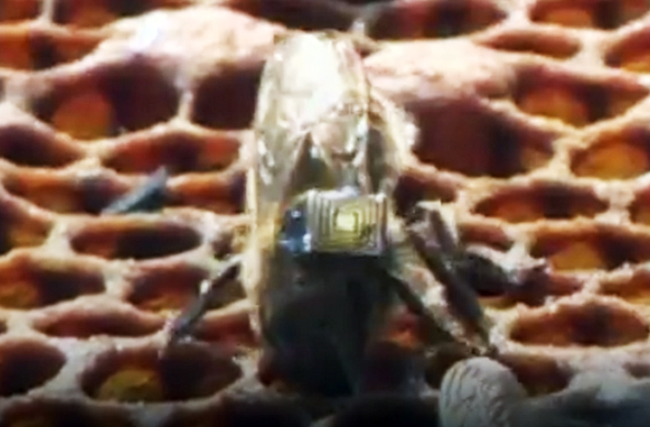Британцы будут отслеживать пчел по микрочипам. Британцы будут отслеживать пчел по микрочипам