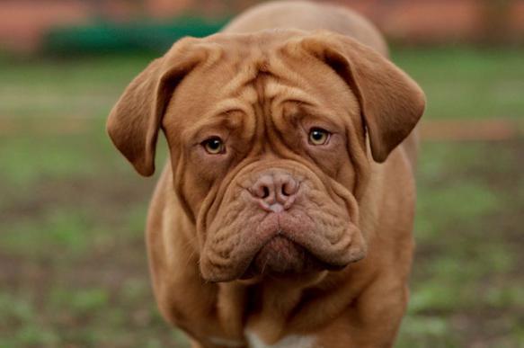 В Подмосковье две собаки загрызли заводчицу. 393403.jpeg