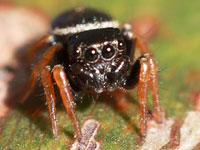 Ученые впервые обнаружили травоядных пауков