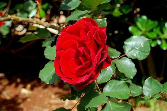 Как правильно поливать розы. 396406.jpeg