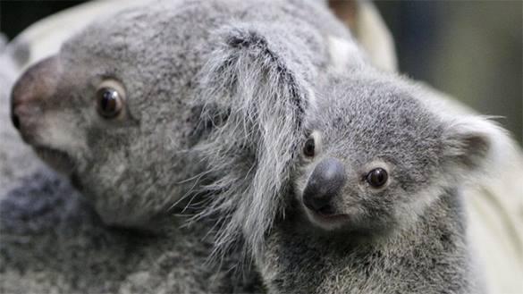 Власти Австралии убили 700 коал, спасая их от голода. Коала с малышом