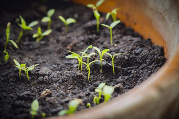 Экстремальный метод проращивания семян: посев в кипяток
