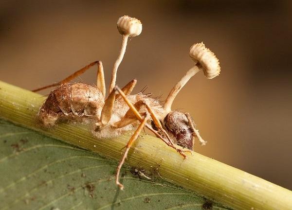 Зомби среди животных: гриб, вызывающий суицид у муравьев. 404408.jpeg