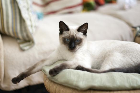 Тайская кошка: история породы, характер, уход. 400410.jpeg