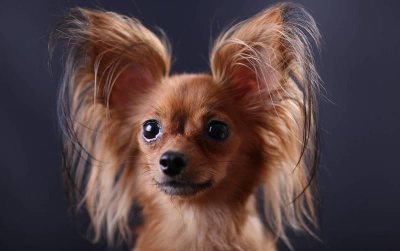 Самые редкие породы собак. 404414.jpeg