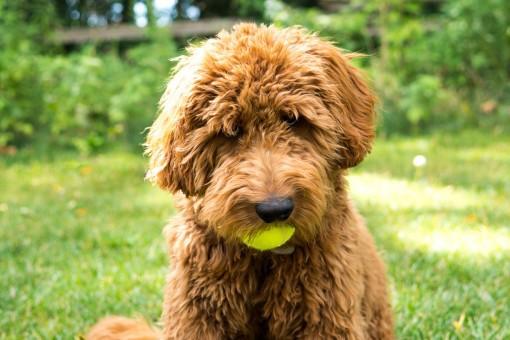 Самые редкие породы собак. 404416.jpeg
