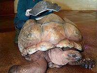 Ветеринары создали черепахе защитный панцирь