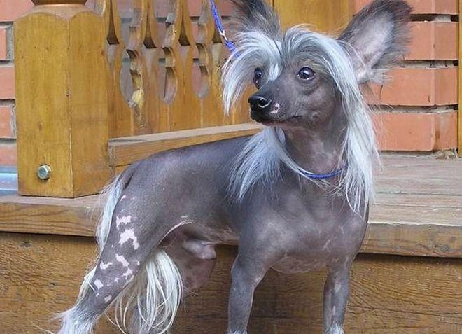 Самые редкие породы собак. 404417.jpeg