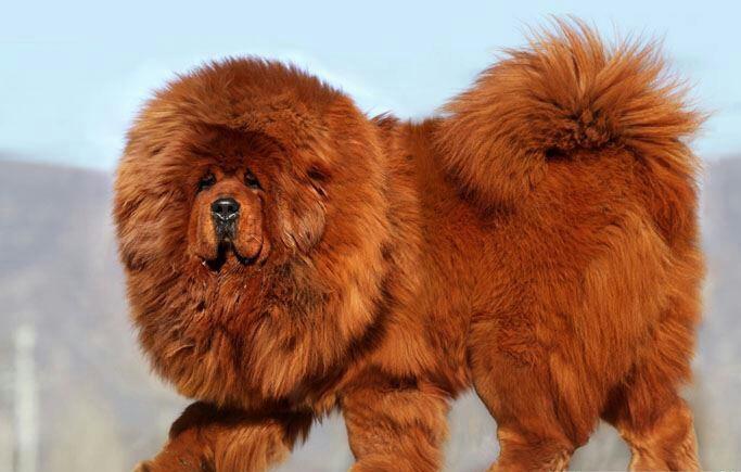 Самые редкие породы собак. 404418.jpeg